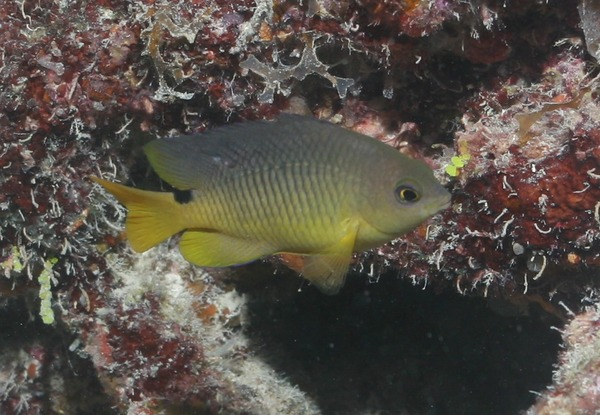 Damselfish - Cocoa damselfish
