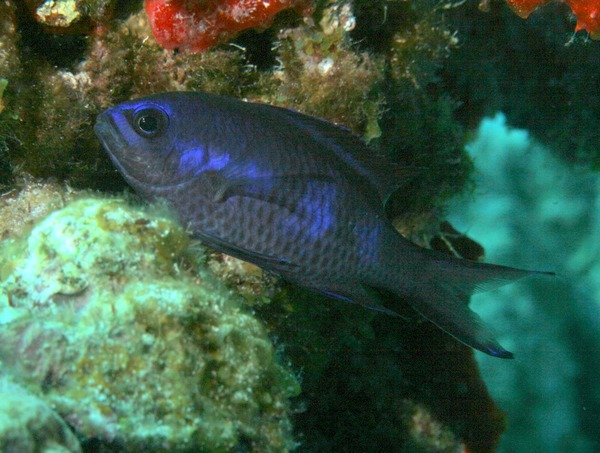 Damselfish - Blue Chromis