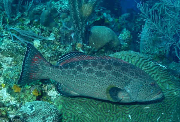 Groupers - Yellowfin Grouper