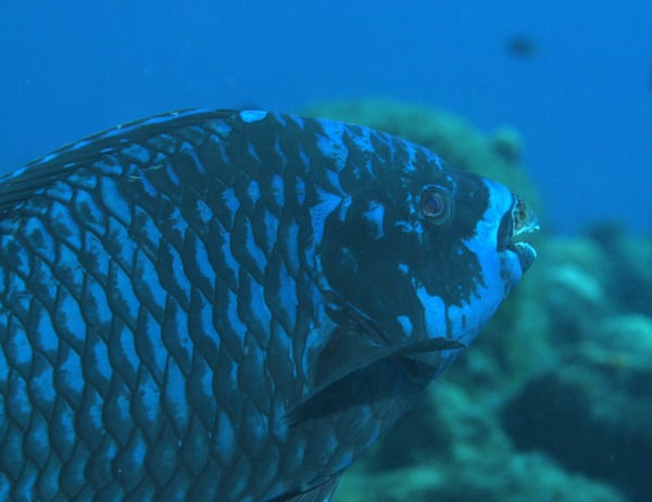Parrotfish - Midnight parrotfish
