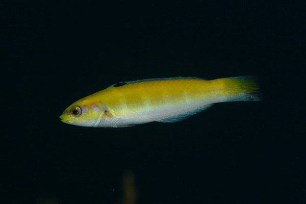 Wrasse - Bluehead Wrasse