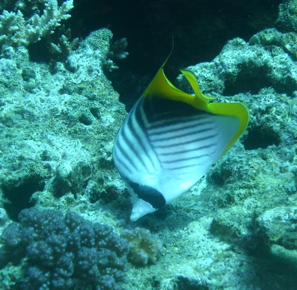 Butterflyfish - Threadfin Butterflyfish