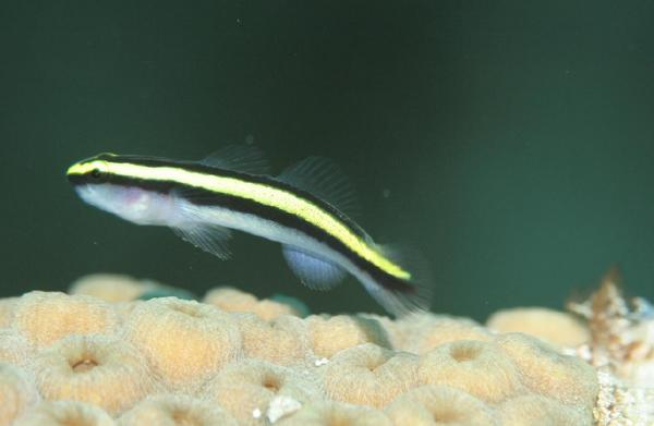 Gobies - Sharknose Goby