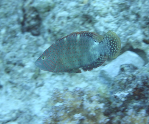 Abudjubbe Wrasse - Cheilinus abudjubbe