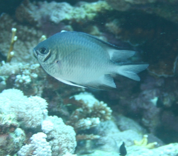 Damselfish - Whitebelly Damselfish
