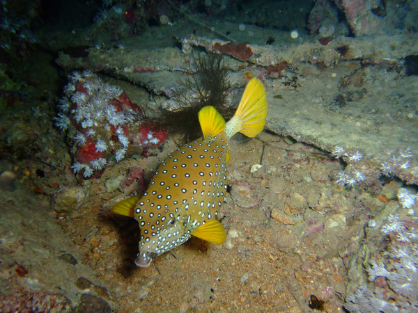 Trunkfish - Yellow Boxfish