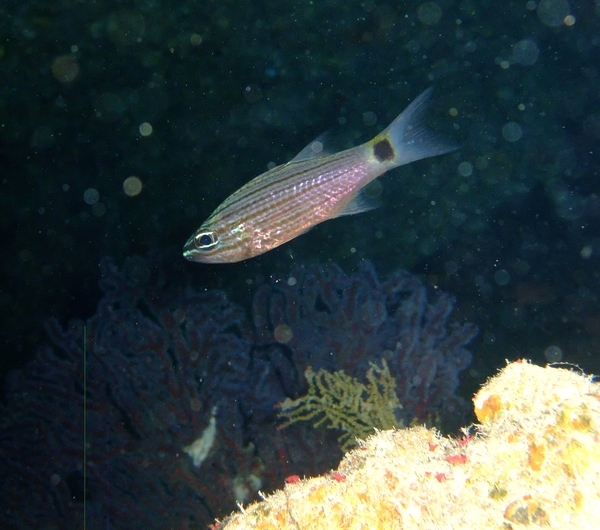 Cardinalfish - Arabian Cardinalfish