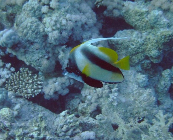 Butterflyfish - Red Sea Bannerfish