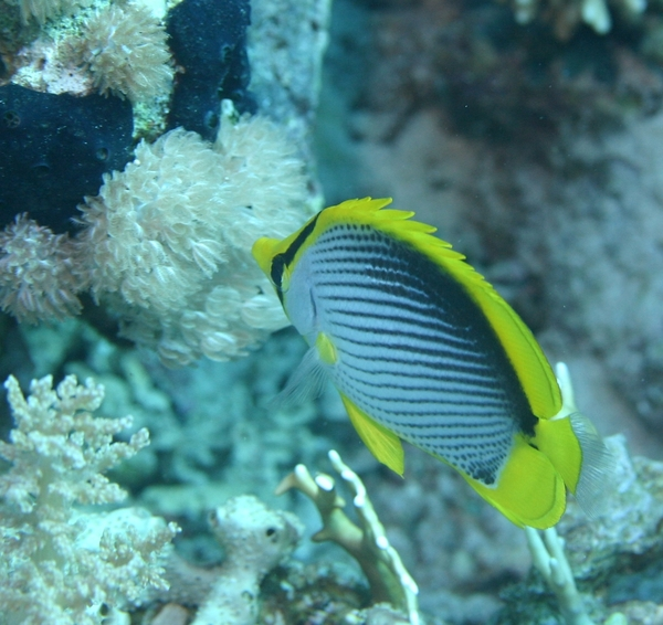 Butterflyfish - Black Backed Butterflyfish