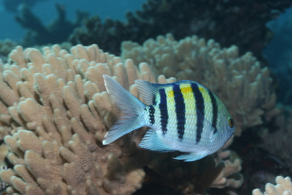 Damselfish - Indo-Pacific Sergeant