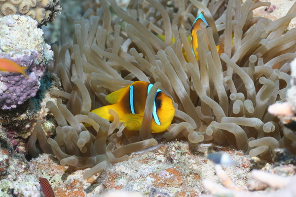 Damselfish - Red Sea Anemonefish