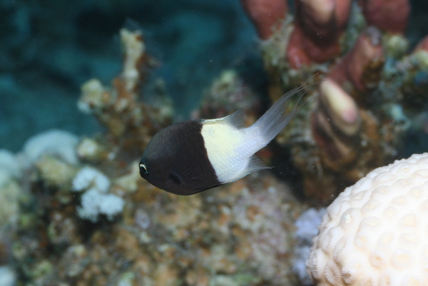Damselfish - Twotone Chromis