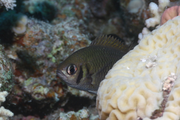 Damselfish - Weber's chromis