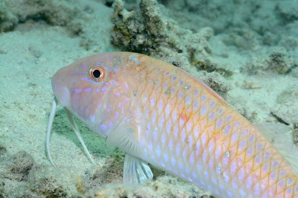 Goatfish - Cinnabar goatfish