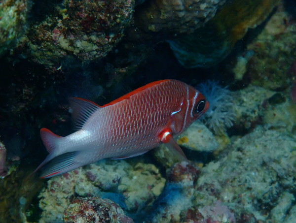 Squirrelfish - White-edged Soldierfish