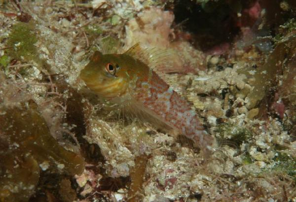 Blennies - Saddled Blenny