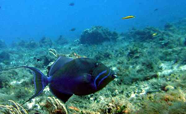 Triggerfish - Queen Triggerfish