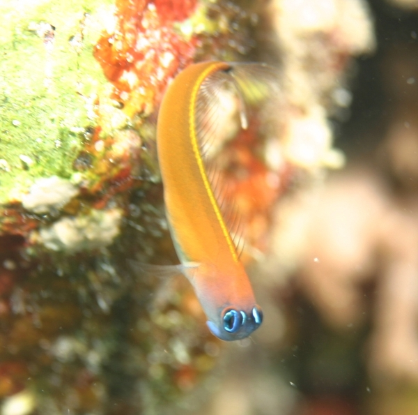 Blennies - Aron's blenny