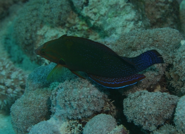 Wrasse - African Sand Wrasse