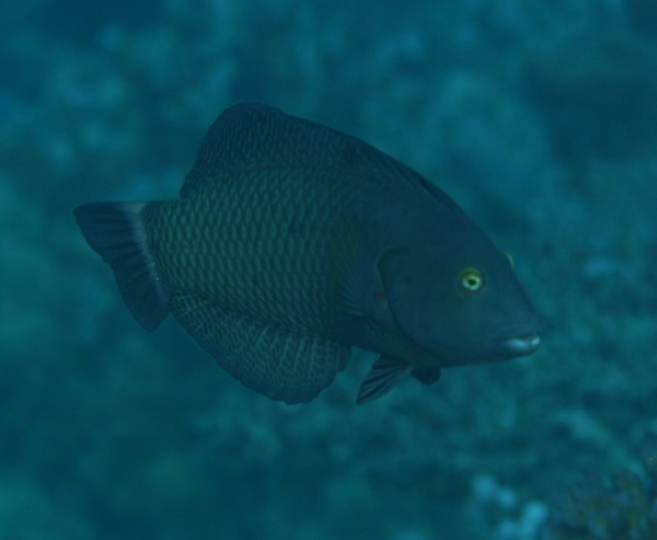 Wrasse - Rockmover Wrasse