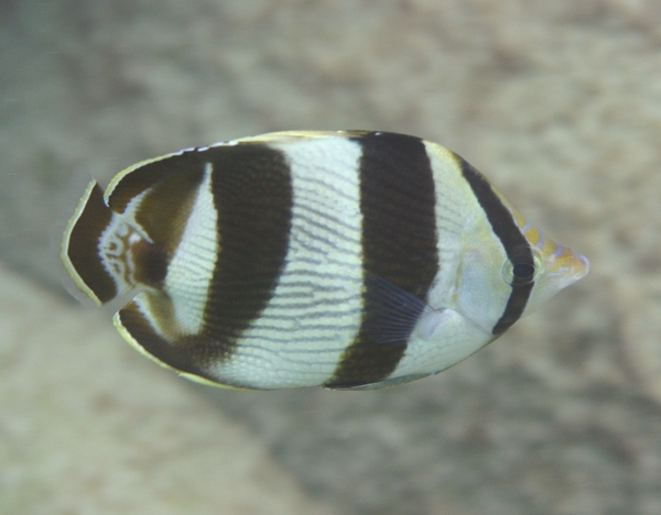 Butterflyfish - Banded Butterflyfish