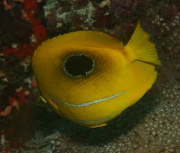 Butterflyfish - Bluelashed butterflyfish