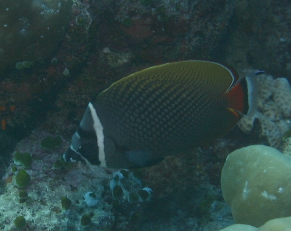 Butterflyfish - White Collar Butterflyfish