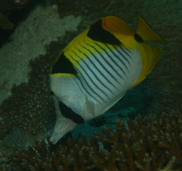 Butterflyfish - Blackwedged butterflyfish