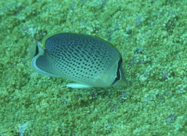 Butterflyfish - Peppered butterflyfish