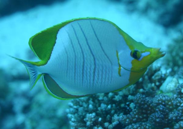Butterflyfish - Yellowhead Butterflyfish