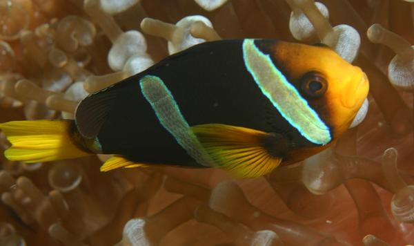 Damselfish - Clark's Anemonefish