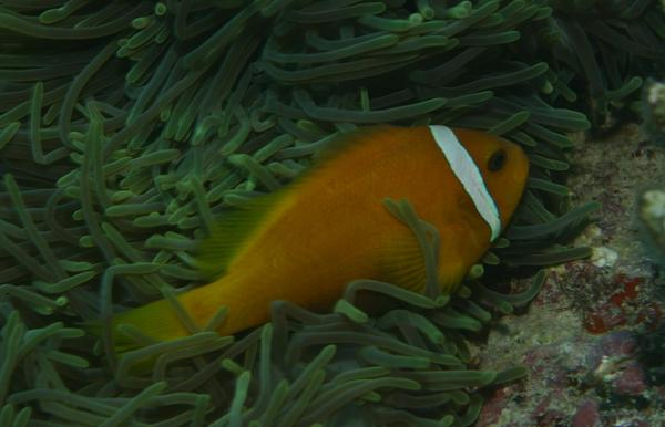 Damselfish - Maldives Anemonefish