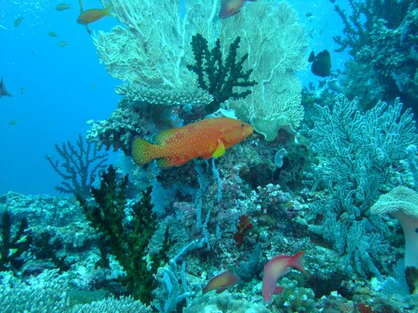 Groupers - Coral Grouper