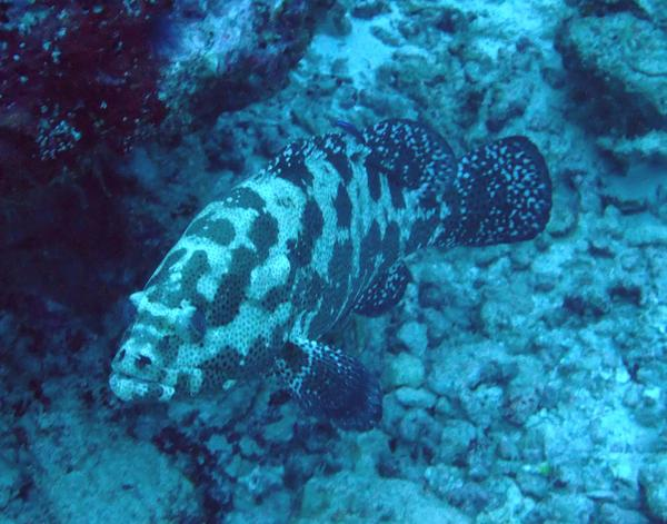Groupers - Brown Marbled Grouper