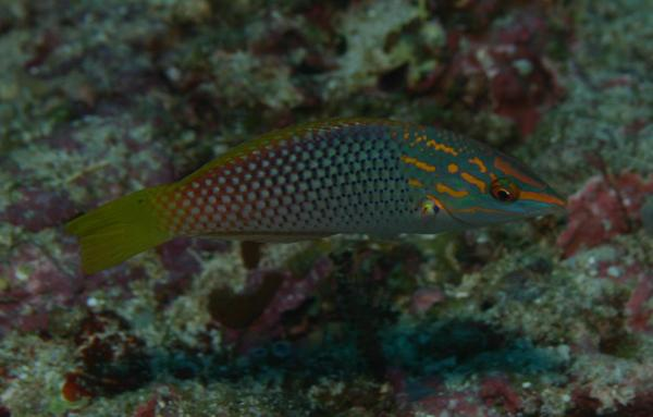 Wrasse - Checkerboard Wrasse