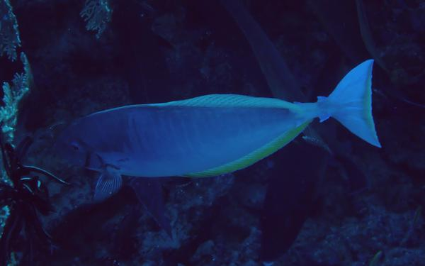 Surgeonfish - Sleek Unicornfish