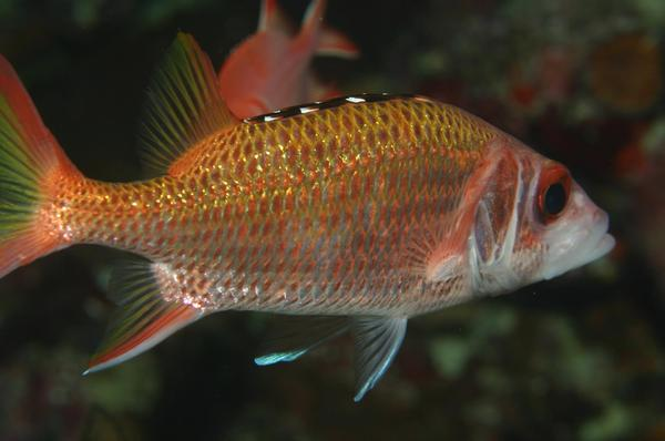 Squirrelfish - Blackfin squirrelfish