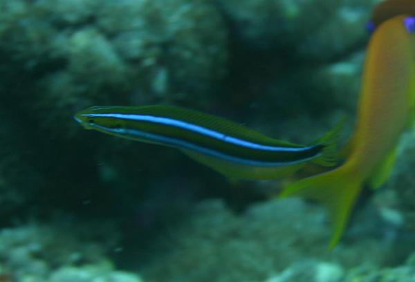 Blennies - Blue-striped Fangblenny