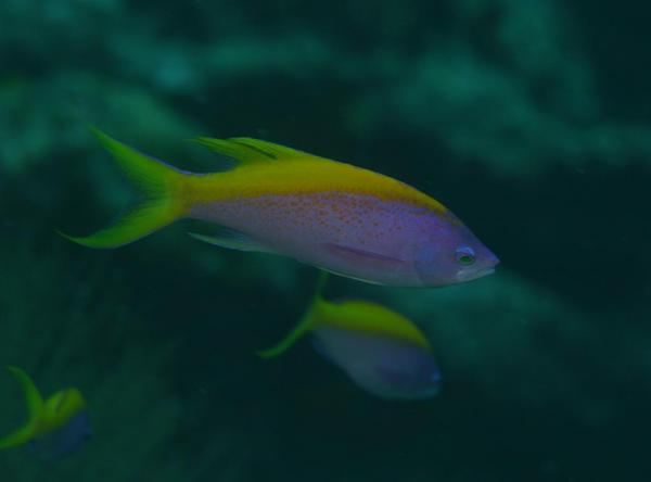 Basslets - Yellowback Anthias