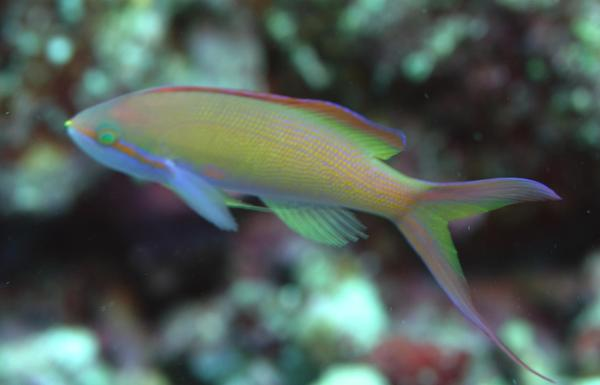 Basslets - Flame Anthias