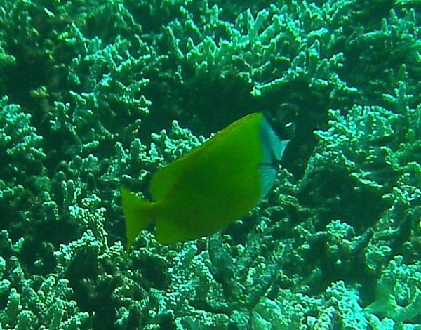 Rabbitfish - Foxface Rabbitfish