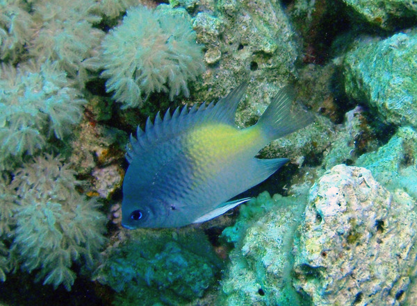 Damselfish - Yellowfin Damselfish