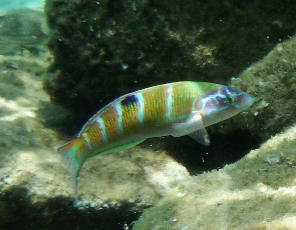 Wrasse - Turkish Wrasse