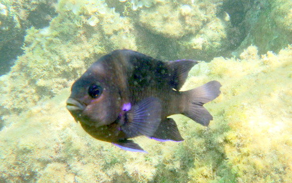 Damselfish - Bluefin Damselfish