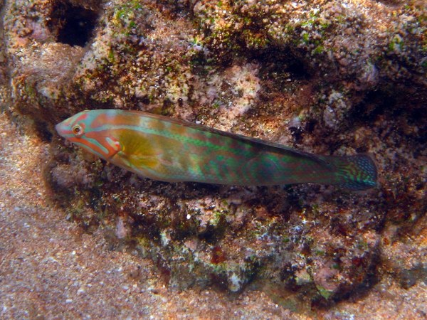 Wrasse - Christmas Wrasse