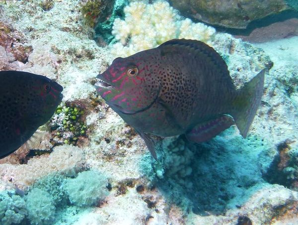 Parrotfish - Dotted Parrotfish