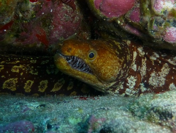 Moray - Fangtooth moray