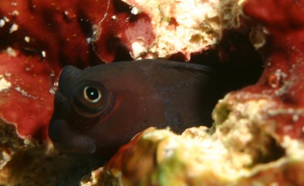 Blennies - Bicolor Combtooth Blenny