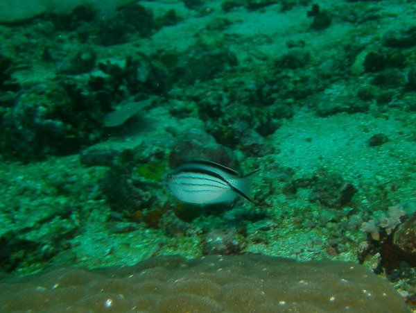angelfish - Blackstriped angelfish