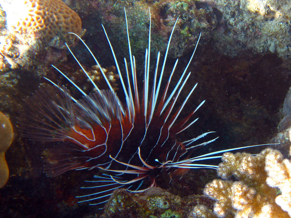Lionfish - Clearfin Lionfish